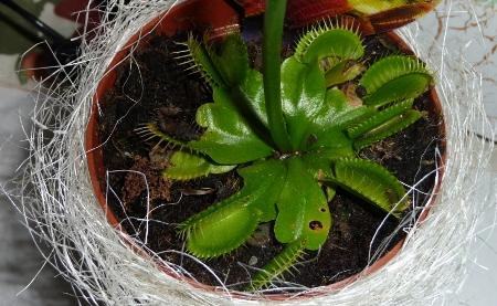 La prima pianta carnivora dionaea muscipula sito chiuso for Pianta carnivora dionea